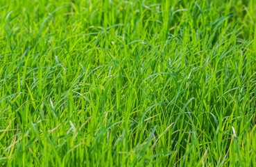 Green Seedlings of rice in farm with soft focus.