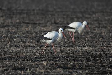 white stork in the field