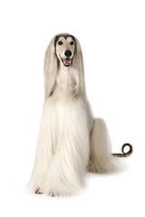 Afghan hound dog isolated on white background
