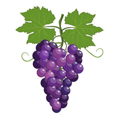 Fresh bunch of grapes purple