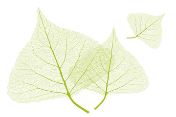 Isolated leaves with ribs, Spring color