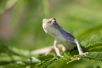 Image of chameleon on nature background.