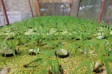 Baby Tropical Herbs Growing in Polystyrene Seed Trays