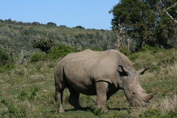 Rhinos in African landscape