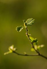 Beautiful hazelnut tree in spring
