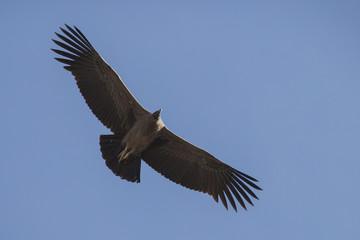 Condor soaring above