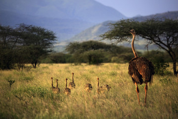 An adult ostrich with young chicks