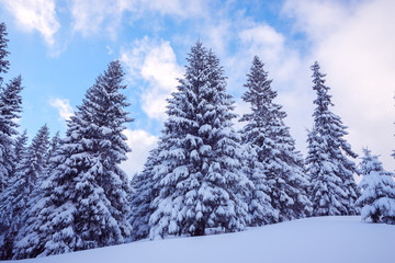 Fir trees covered with snow against the backdrop of a colorful s