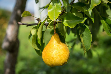Yellow ripe pear hanging on a branch in the morning