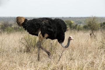 Autruche, male, Struthio camelus, Parc national Kruger, Afrique du Sud