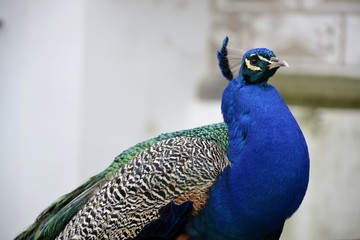 Detail of a wild peacock and architecture