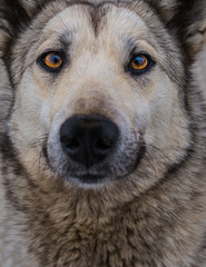 Mongrel dog similar to Husky