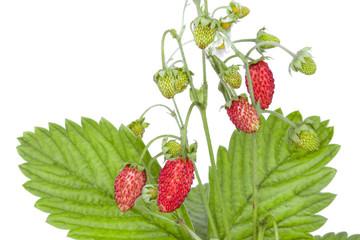 bush of ripe strawberries