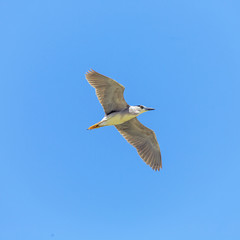 Grey Bittern flies - Maagan Michael kibutz, Israel