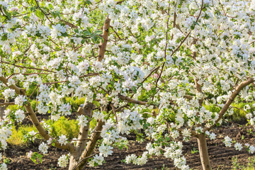 Blooming apple trees branches in the orchard, close-up