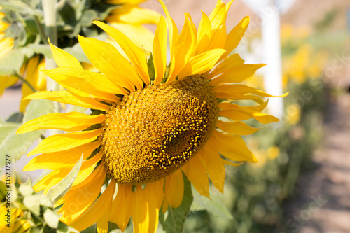 Colorful Of Sun Flower With Big Green Leaf And Skyyellow Flower