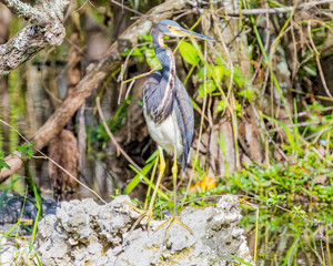 Great Blue Heron on the Rock in the Everglades