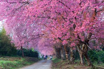 Cherry blossom pathway in Khun Wang ChiangMai, Thailand.