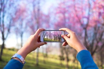 Female hand take photo Spring Cherry blossom or Sakura field by Smart phone