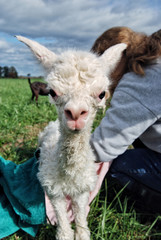 A newborn Cria on an alpaca farm in the Champlain Valley area of Vermont
