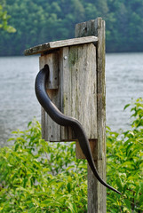 A black rat snake searching for a meal inside a bird box in a state park in Connecticut