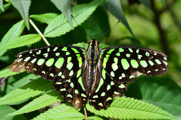 Florida Malachite Butterfly