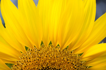Close up of sunflower part.