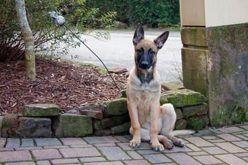 A pretty belgian shepherd, baby sitting.