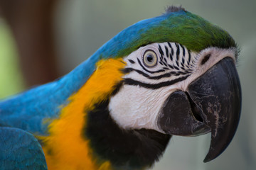 Blue-and-yellow macaw portrait