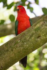 Australian king parrot sitting on branch