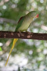Female Alexandrine parrot on branch