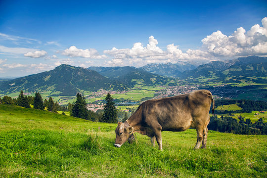 Eine Kuh frisst Gras (Bergblick)