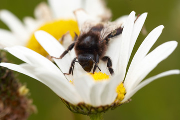 Pollination - bee on the flower