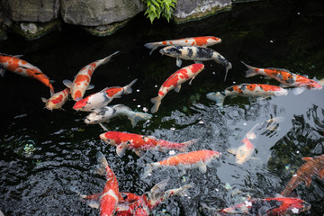 Beautiful colored fishes like Koi, Carp seen swimming in the water. The color of the water looks black and these colored Japanese fishes make the scene amazing.