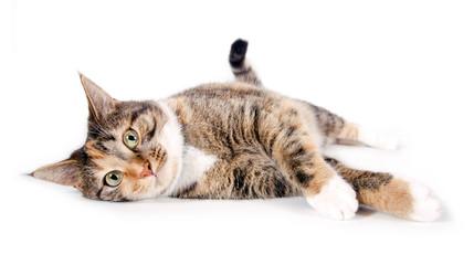 Liegende, zufriedene Katze