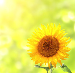 Wall Mural - Sunflower on blurred sunny background