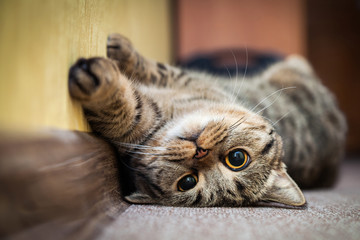 Cute cat lying on his back on the carpet. Breed British mackerel with yellow eyes and a bushy mustache. Close up.