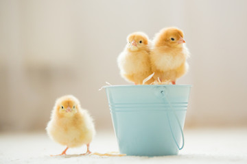 Little cute baby chicks in a bucket, playing at home
