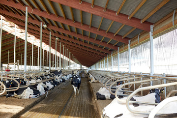 herd of cows in cowshed stable on dairy farm
