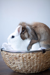 brown rabbit loves white bunny sitting in a basket