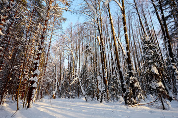 Winter forest a lot of snow. The sun through the trees