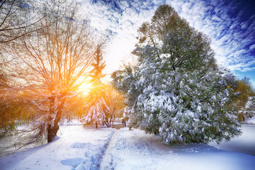 Sunlight breaks through the pine trees in winter