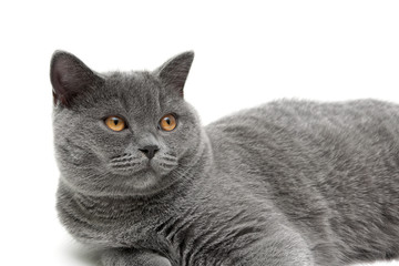 beautiful cat with yellow eyes close up on a white background