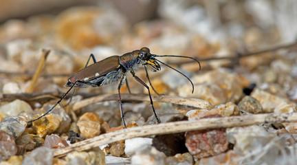 Beetle, Tiger Beetle ( Lophyridia funereal ) on ground