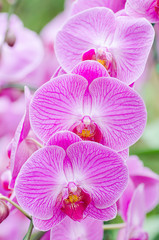 Pink orchid flower (Phalaenopsis) blossom in a garden