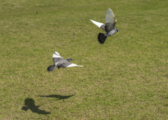 pigeons flying on Lawns with theirs shadow