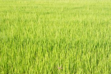 Green rice fields in Thailand. Fresh spring green grass.Cornfield background. Rice Background