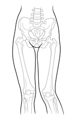 Detail of woman pelvic girdle and legs; Build, pelvic girdle and lower limb girdle knee female skeleton and bones of the legs, front view. On a white background