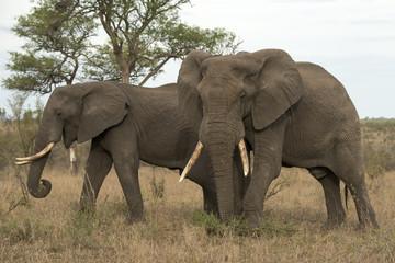 Eléphant d'Afrique, Loxodonta africana, Parc national Kruger, Afrique du Sud