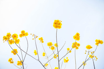 Yellow cotton flowers, Silk Cotton flowers, Tree beautiful in sk